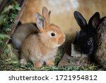 Small Domestic Rabbits Eating...