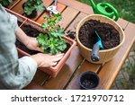 Planting Pelargonium Flower...