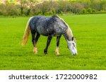 A Dapple Grey Horse Grazing In...