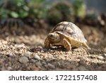 African Sulcata Tortoise...