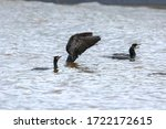 Two Crested Cormorants In The...