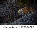 Portrait Of A Male Tiger