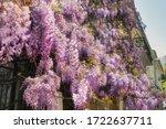 A Wall Of Purple Wisteria...