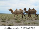 camel in the desert gobi | Shutterstock . vector #172264202