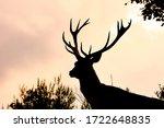 Deer  European Deer Spain....