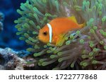 Maldive anemonefish (Amphiprion nigripes) and sea anemone underwater in the Indian Ocean
