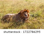 Male Lion Lying In The Grass...