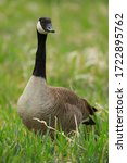 Canadian Goose Portrait In A...