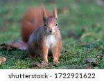 Squirrel  Sciurus Vulgaris  In...