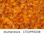 Multicolored Maple Leaves In...