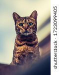 Small photo of A low angle view of a stripy Bengal cat sitting on a rooftop looking aloof and haughty at the camera