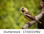 Beautiful And Curious Hawfinch...