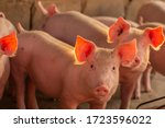 Piglet in the farm. group of...