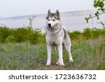 Portrait Of A Siberian Husky....