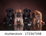 Stock photo puppy of breed cane corso 172367348