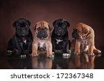 Stock photo puppy of breed cane corso 172367348