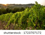 A Row Of Red Grapevines On A...