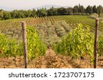 Sunny Hilly Green Vineyards...