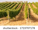 Rows Of Red Wine Grapes In A...