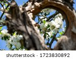 Cherry Blossoms Framed By A...