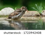 Young Sparrow Bathes In The...