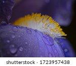 Stamens Of A Bearded Iris ...