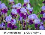 Purple And Violet Irises On...