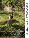 Small photo of hyena-shaped dog in a warlike pose