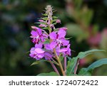 Fireweed Blooming Time Russian...
