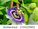 Small photo of Close Up of a flowering Passiflora Caerulea. This plant is also known as passion flowers or passion vines, and this particular species is knows as the blue passionflower or blueccrown passionflower.