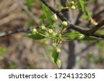 Spring. A Branch Of A Pear Tre...
