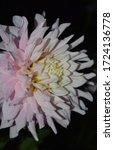A Single Flower Dahlia Bloom ...