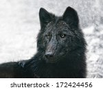 Small photo of the black wolf