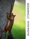 Squirrel On Tree Trunk Looking...