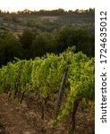 A Row Of Grapevines On A Slope...