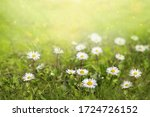 Field Of Daisy Flowers   In Su...