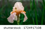 Peach Iris Germanica Or Bearde...
