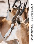Small photo of Close-up portrait of a Springbok in mid day light; Antidorcas Marsupialis