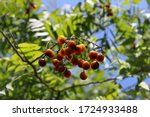 Western Soapberry  Soapberry ...