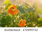 Nasturtium Flowers Close Up...