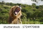 Beautiful Moments Of Lions At...