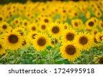 Close Up Of Yellow Sunflower...