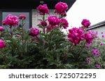 Defocused Image Of Pink Flowers ...