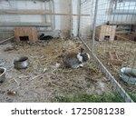 Domestic Farm Rabbits In Cage...