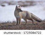 Korsak Or Steppe Fox  Vulpes...