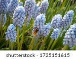Cluster Of Light Blue Hyacinth...