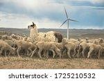 Sheep Ranch On Wind Farm
