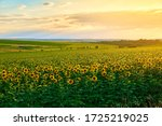 Agricultural Field With Yellow...