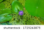 Water Lily In The Pond. Large...