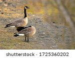 Canadian Geese On The Shore...